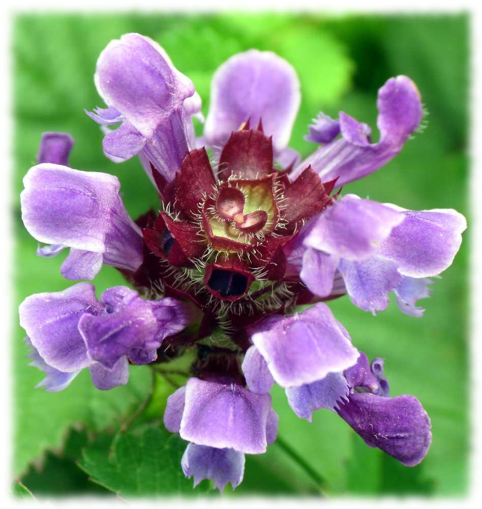 Self-heal Flower